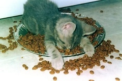 Funny Pictures of Kitten Sleeping In Food