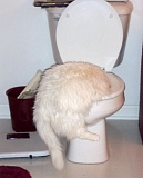 Funny Cat Pictures -  with Head in the Toilet.