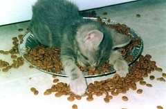 Funny Pictures of Kitten Asleep In Food