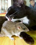Funny Cat Pictures -  Licking Gerbil