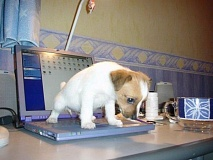 Funny Pictures of Puppy Peeing On A Laptop