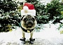 Funny Pictures of Pug Dog in Santa Hat