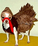 A funny picture of a dog dressed like a turkey.