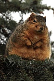A funny pictures of a fat squirrel