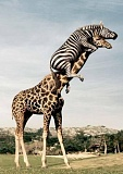 A funny Zebra Pictures